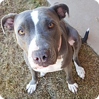 American Staffordshire Terrier Mix Dog for adoption in Las Cruces, New Mexico - Maui