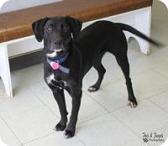Labrador Retriever Mix Dog for adoption in Yukon, Oklahoma - Sadie