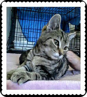 Domestic Shorthair Kitten for adoption in Trevose, Pennsylvania - Sally