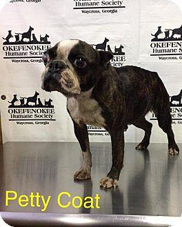 Boston Terrier Dog for adoption in Waycross, Georgia - Petticoat