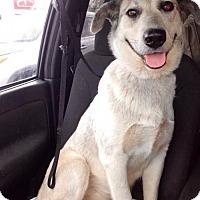 Shepherd (Unknown Type)/Husky Mix Dog for adoption in san diego, California - Valley
