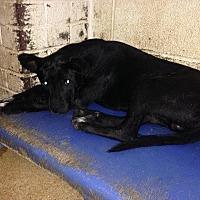 Adopt A Pet :: 6-23-16 Litter #3 - Magnolia, AR