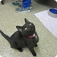Adopt A Pet :: Shenanigans - Medina, OH