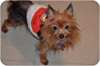 Yorkie, Yorkshire Terrier Mix Dog for adoption in The Villages, Florida - Stanley