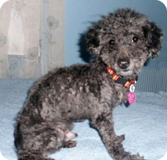 Poodle (Miniature) Dog for adoption in Mooy, Alabama - Pepper