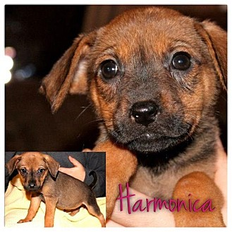 Dachshund/Beagle Mix Puppy for adoption in Garden City, Michigan - Harmonica