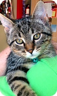 Domestic Shorthair Kitten for adoption in Green Bay, Wisconsin - Connor