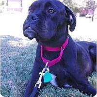 Adopt A Pet :: Juno - Plano, TX