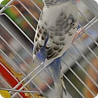 Adopt A Pet :: Nuala - Shawnee Mission, KS