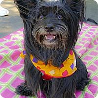 Adopt A Pet :: Ozzy velcro boy - Sacramento, CA