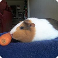 Adopt A Pet :: Gracie - San Antonio, TX