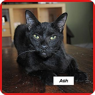 Domestic Shorthair Cat for adoption in Miami, Florida - Ash