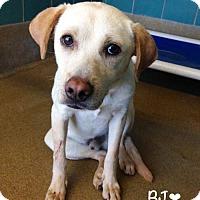 Adopt A Pet :: A366550 BJ - San Antonio, TX