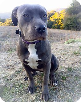 Pit Bull Terrier Dog for adoption in Topanga, California - Ivy
