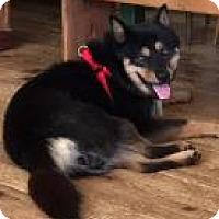 Jindo Mix Dog for adoption in Santa Cruz, California - Sunny