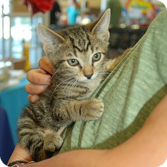 Domestic Shorthair Kitten for adoption in Great Mills, Maryland - Amber