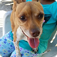 Miniature Pinscher/Jack Russell Terrier Mix Dog for adoption in Fullerton, California - Roxy