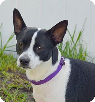 Cardigan Welsh Corgi/Boston Terrier Mix Puppy for adoption in Loxahatchee, Florida - Indy