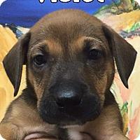 Adopt A Pet :: Violet - Ft. Lauderdale, FL