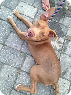Pit Bull Terrier Mix Dog for adoption in Media, Pennsylvania - Ilene (foster) *Updated*