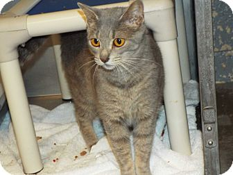 Domestic Shorthair Cat for adoption in Shelby, Michigan - Stella- Foster Care