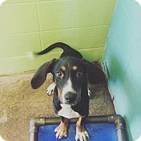 Adopt A Pet :: Little Bit - Sweetwater, TN