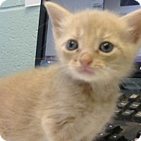 Domestic Shorthair Kitten for adoption in Decatur, Georgia - Scout