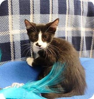 Domestic Shorthair Kitten for adoption in Apple Valley, California - Marley #157545