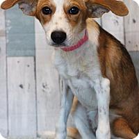 Adopt A Pet :: Jazzy - Waldorf, MD