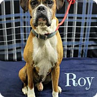 Boxer Dog for adoption in Melbourne, Kentucky - Roy