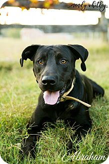 "Labrador Retriever Dog for adoption in Columbia, Tennessee - Abraham ""Abe"""