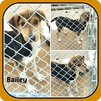 Adopt A Pet :: BAILEY - Malvern, AR