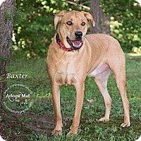 Adopt A Pet :: Baxter - Westfield, NY