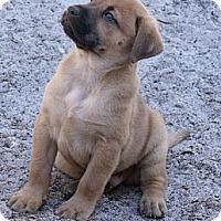 Adopt A Pet :: Puppy....Hershey - ....., FL