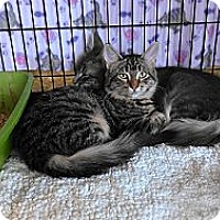 Adopt A Pet :: Tabbylicious - Morgan Hill, CA