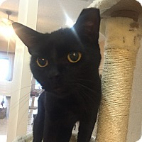 Adopt A Pet :: Midnight - Jupiter, FL
