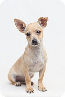 Chihuahua/Terrier (Unknown Type, Small) Mix Dog for adoption in Redding, California - Lou