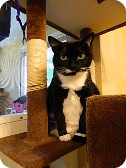 Domestic Shorthair Cat for adoption in Jupiter, Florida - Joy