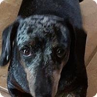 Adopt A Pet :: Bentley - Humble, TX