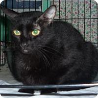 Adopt A Pet :: Indigo - Dallas, TX