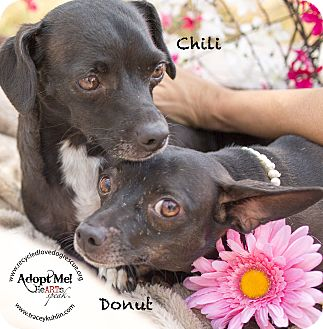 Dachshund Mix Dog for adoption in Inland Empire, California - CHILI