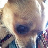Adopt A Pet :: Kitti - S. Pasedena, FL