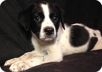 Blue Heeler/Border Collie Mix Puppy for adoption in SOUTHINGTON, Connecticut - Katie