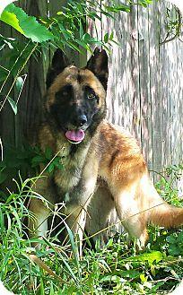 German Shepherd Dog Mix Dog for adoption in Kouts, Indiana - Theseus