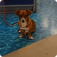 Dachshund/Beagle Mix Dog for adoption in Lodi, California - Hank