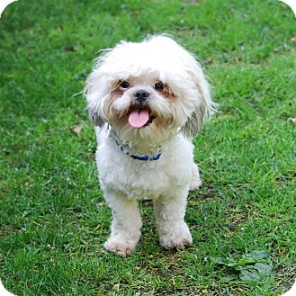 Shih Tzu Mix Dog for adoption in Los Angeles, California - ENZO