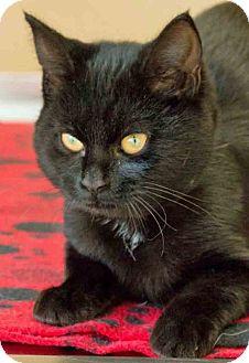 Domestic Shorthair Kitten for adoption in Gahanna, Ohio - Ruby