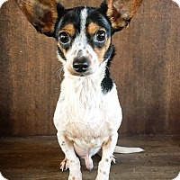 Rat Terrier/Chihuahua Mix Dog for adoption in Fredericksburg, Texas - Dumbo