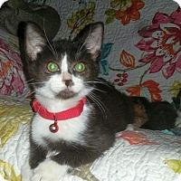 Adopt A Pet :: FELIX - Winterville, NC