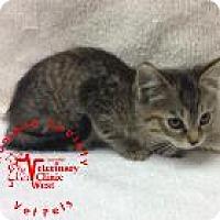 Adopt A Pet :: Strudel - Janesville, WI